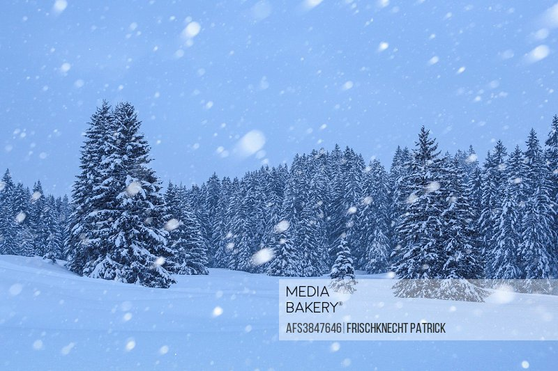 Snow-covered, Snowy, firs with snowfall, Switzerland
