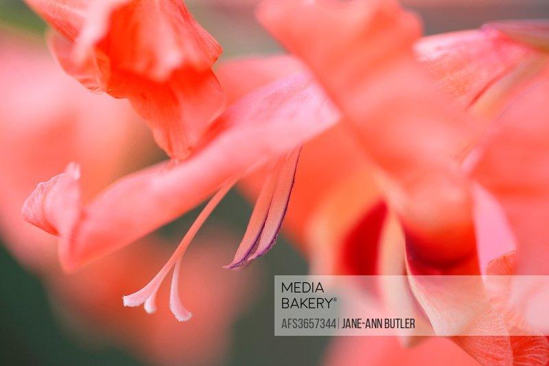 elegant hardy gladiolus nanus nathalie, arching spikes of pink blooms.
