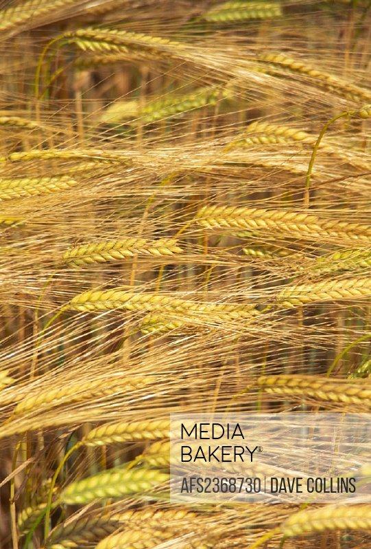 agriculture, barley, cornfield, detail, ears, field, grain, grain field, grain field,