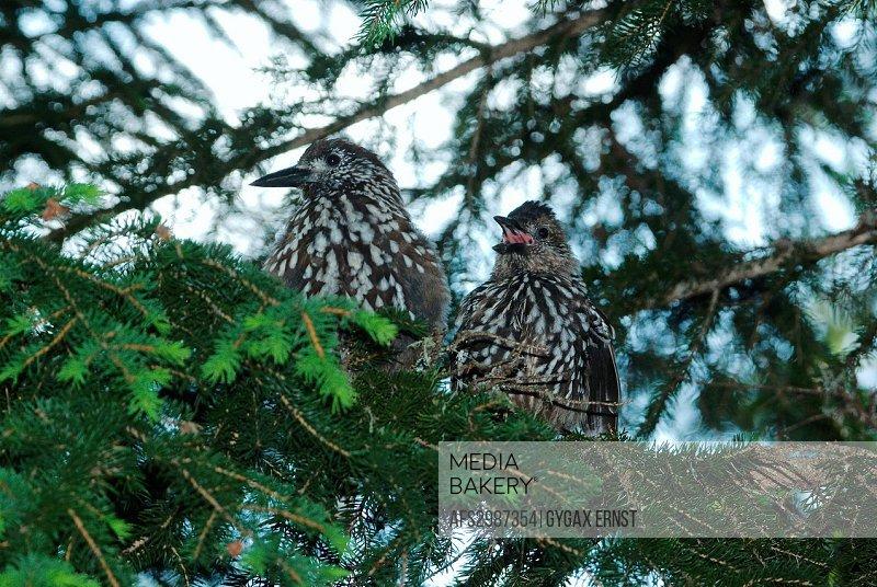 Switzerland, Europe, Arosa, bird, birds songbird, nutcracker, forest, fir, squabs