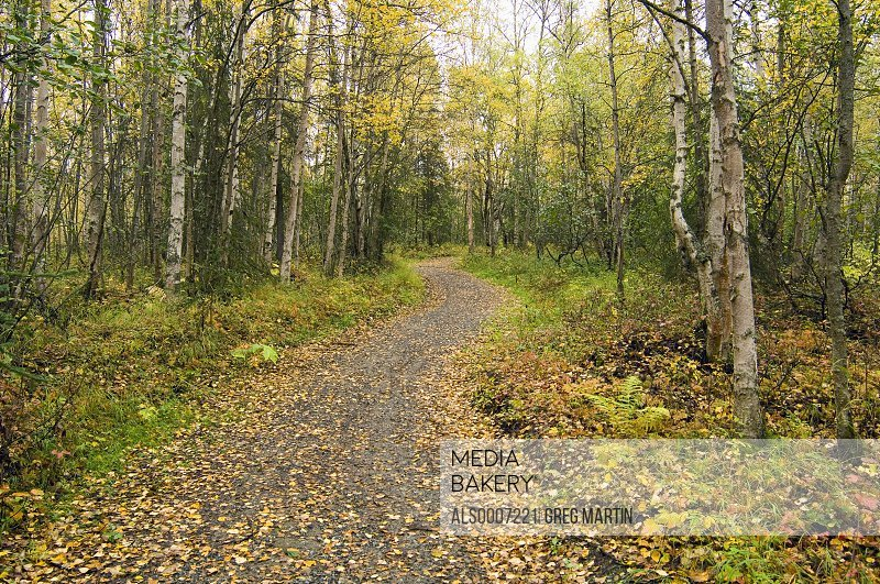 Path through forest w/fallen leaves in autumn Chugach State Park Southcentral Alaska
