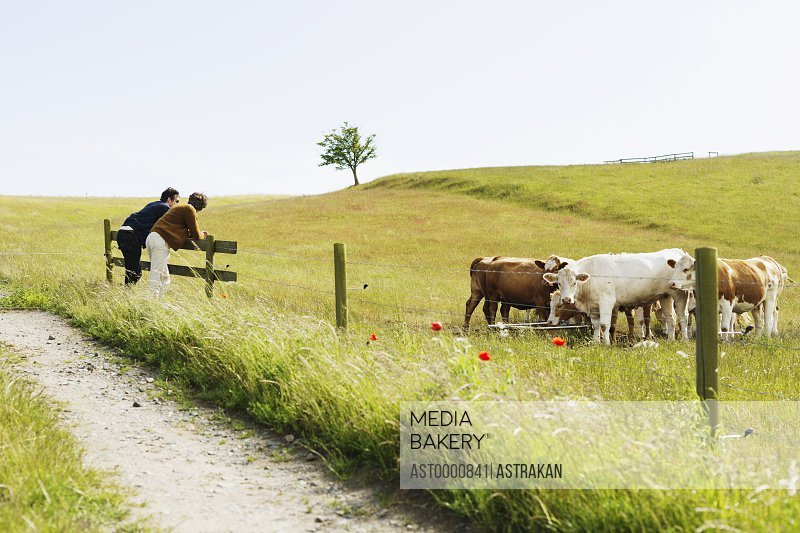 Men leaning over fence by cows at grassy field against clear sky