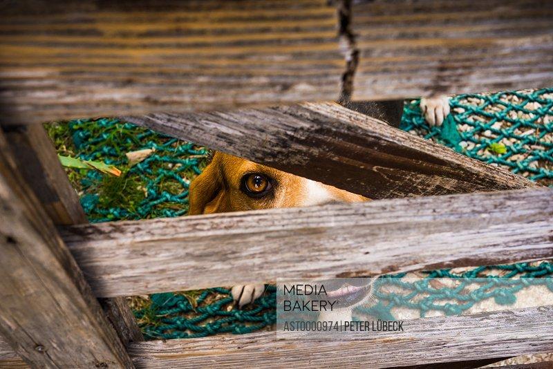 Dog peeking through gate on Zamami Island Japan