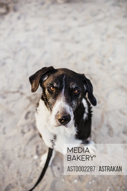 High angle portrait of dog sitting on beach