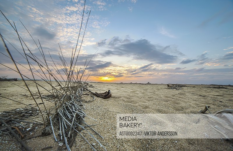 Dead plant on sand at beach against sky during sunset