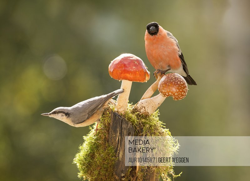 Two nuthatches perching on mushrooms, Bispgarden, Jamtland, Sweden