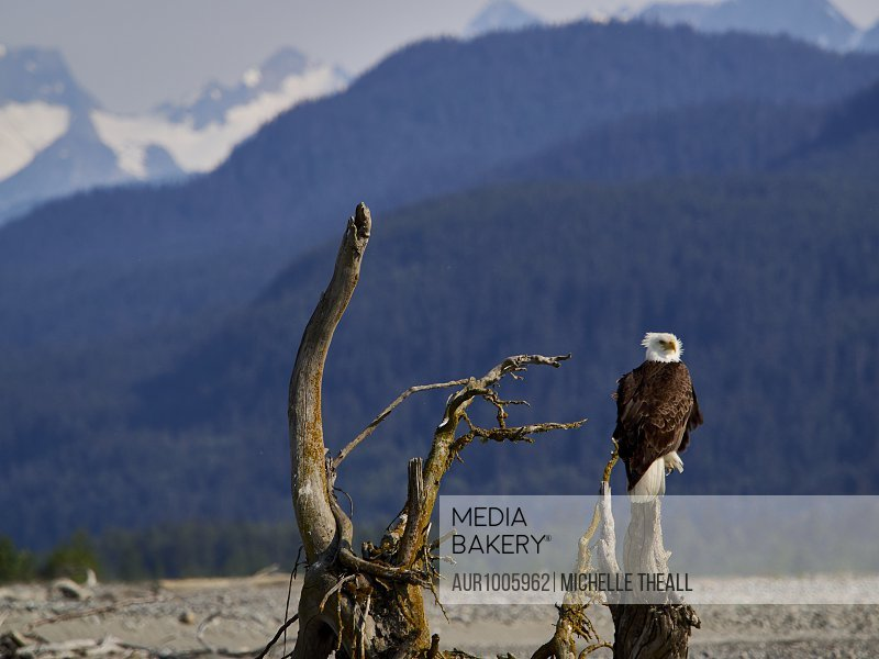 Bald eagle posing on driftwood along the Chilkat River in the Bald Eagle Preserve in Haines during a rafting trip.