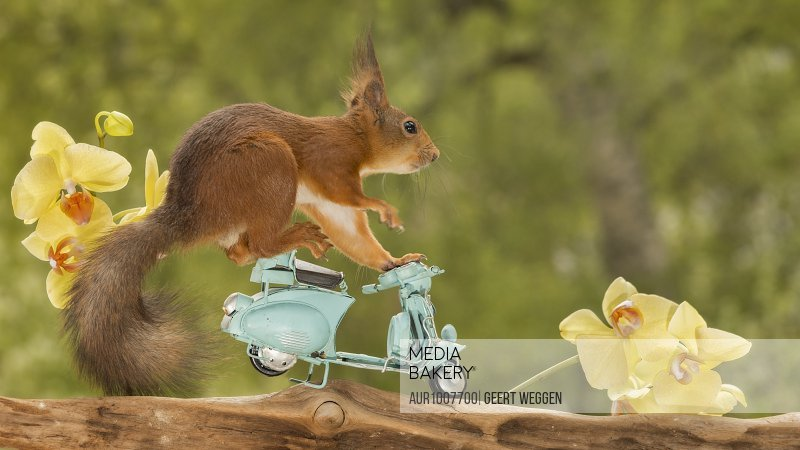 Side view of red squirrel standing on moped with yellow orchids, Jamtland, Sweden