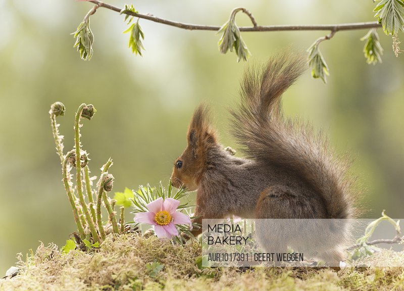 Cute photograph of single red squirrel with pink flower