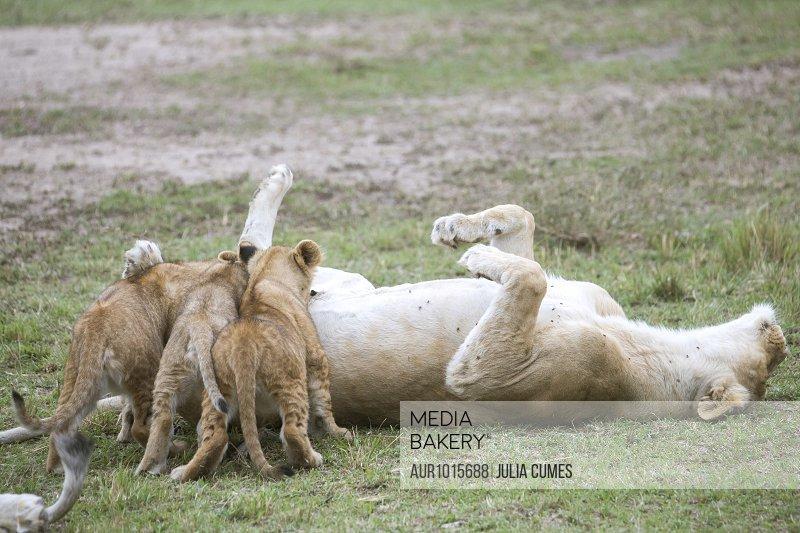 Lion (Panthera leo) cubs suckling, Masai Mara National Reserve, Kenya