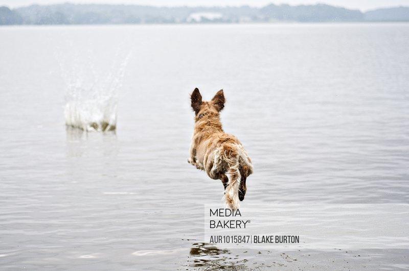 Golden retriever dog jumping into lake