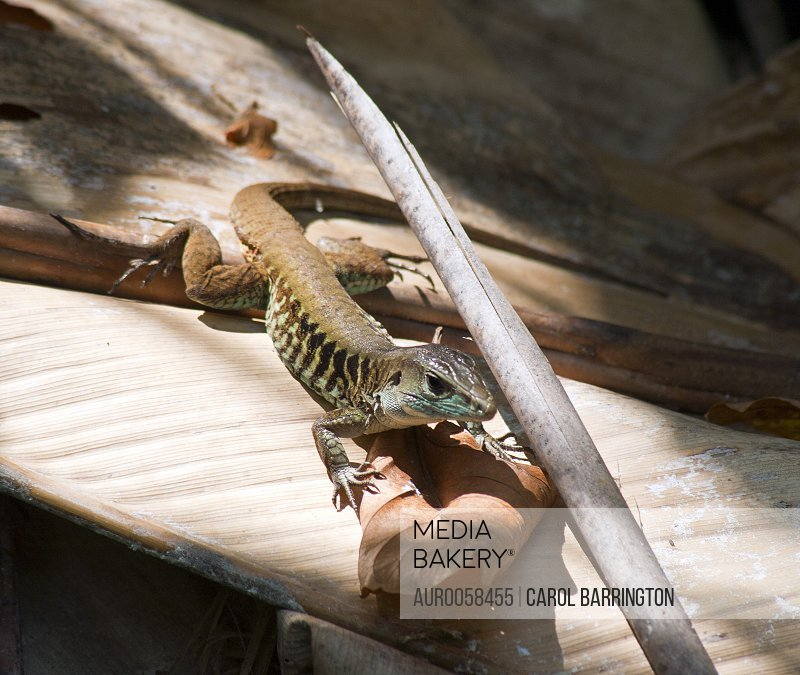 A Central American Whiptail Lizard, Ameiva festiva at Manuel Antonio National Park in Costa Rica