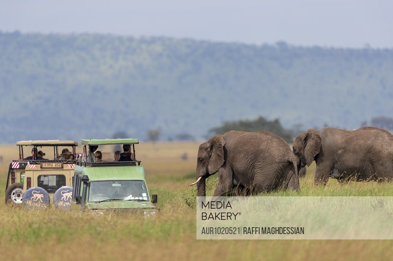 Two African elephants (Loxodonta africana) near safari cars, Serengeti National Park, Mara Region, Tanzania