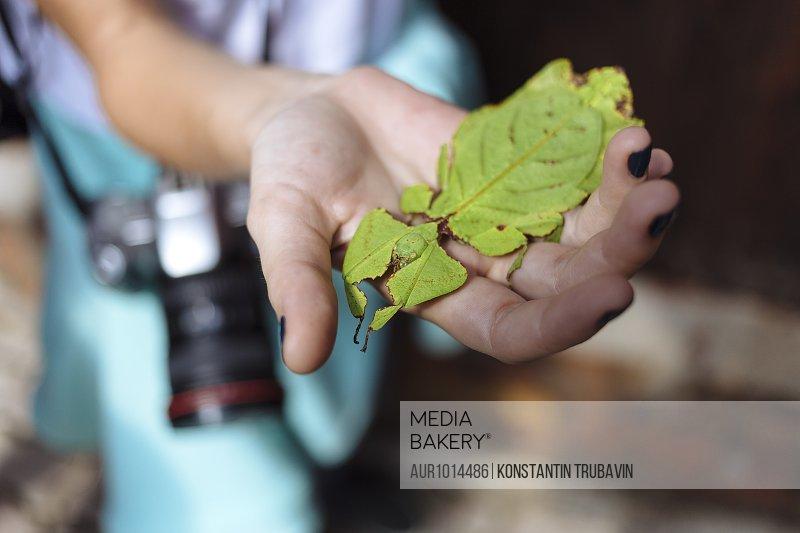 Ghost Mantis in hand, Phyllocrania paradoxa