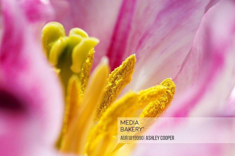 Closeup of pink Tulip flower, Lisse, South Holland, Netherlands