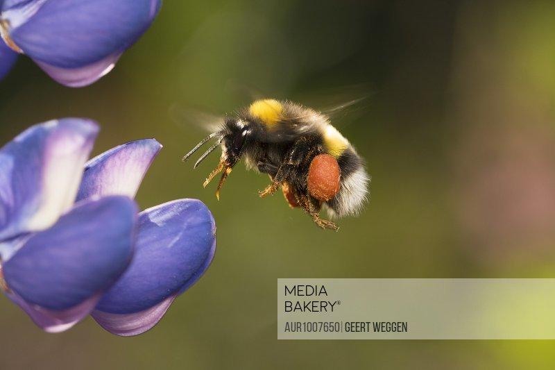 Bumblebee flying towards purple flower, Bispgarden, Jamtland, Sweden