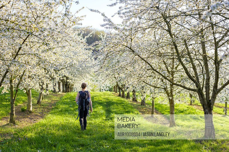 Idyllic scene with rear view of woman walking past blossoming cherry trees in spring, Eggenertal Valley, Schliengen, Baden-Wurttemberg, Germany