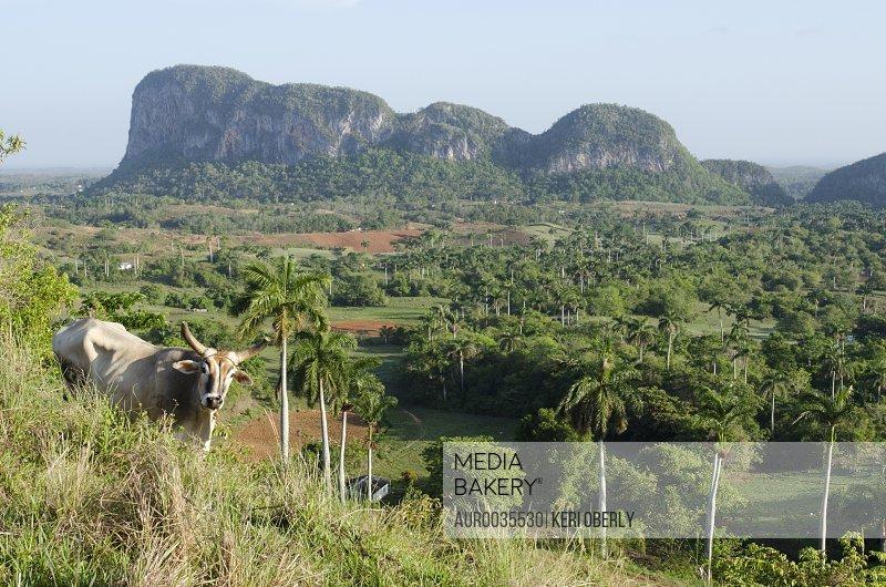 Oxen on a hillside over looking Viñales Valley, Cuba.