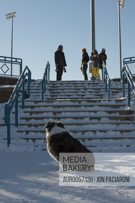 An Australian Shepherd waiting patiently while a group of snowboarder get prepared to ride the handrails.<br><br><span style='color: red'>Editorial Use Only.</span><br><br>