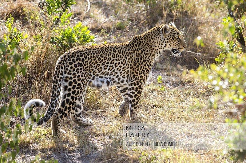 Leopard in Maasai Mara, Kenya