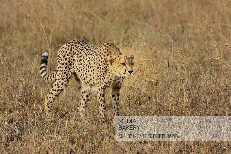 Cheetah�(Acinonyx jubatus)�in savannah