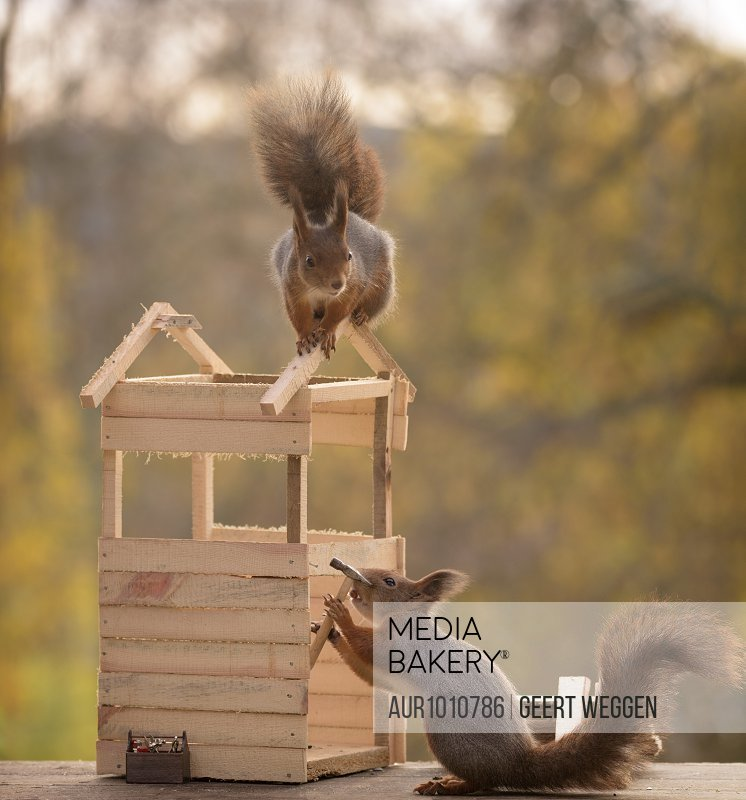 Two red squirrels building wooden house