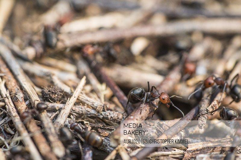 Close-upof carpenter ants