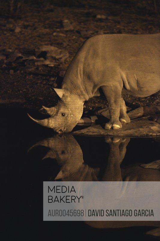 Black Rhinoceros Etosha Pan Etosha National Park Namibia