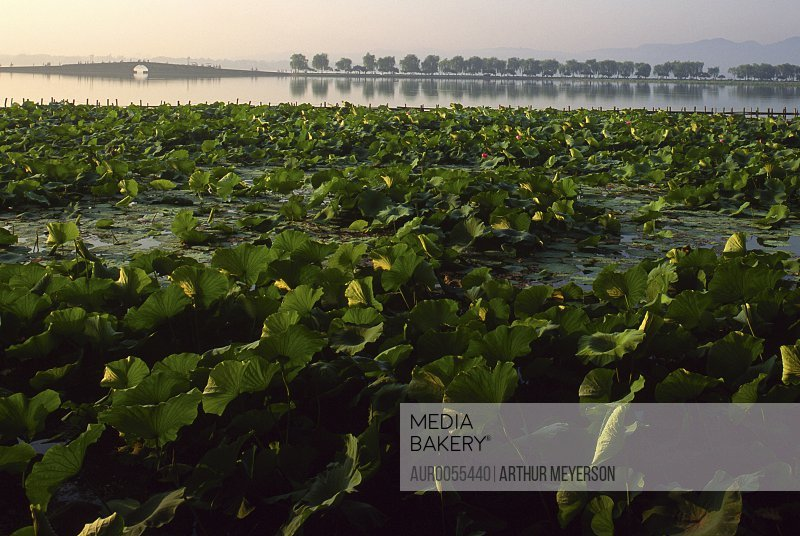 Lily pads in foreground with bridge and willow trees in background at West Lake, Hangzhou, China.