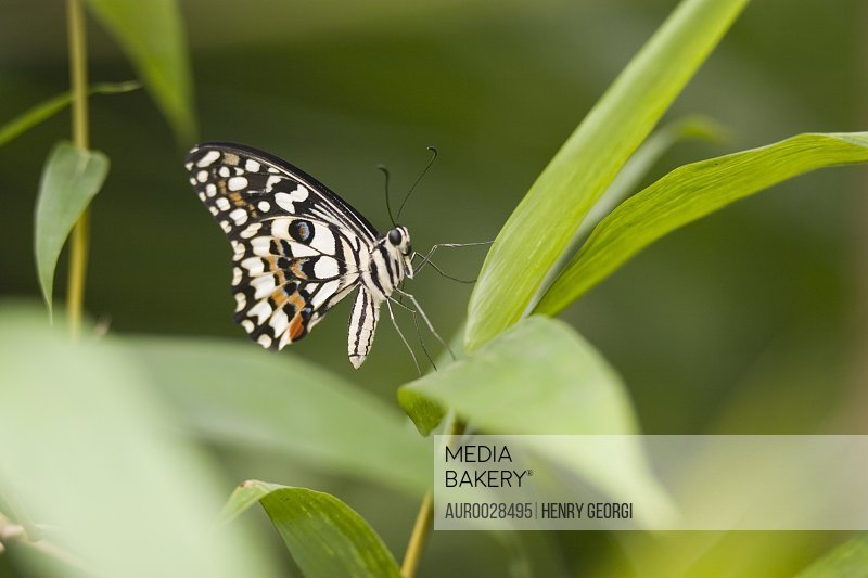 Lime butterfly, also known as Checkered Swallowtail (Papilio demoleus malayanus) resting on leaf, Butterfly World and Gardens, C