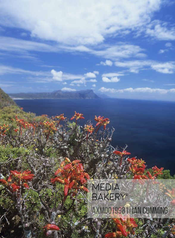 Fynbos plants in the Cape of Good Hope Nature Reserve