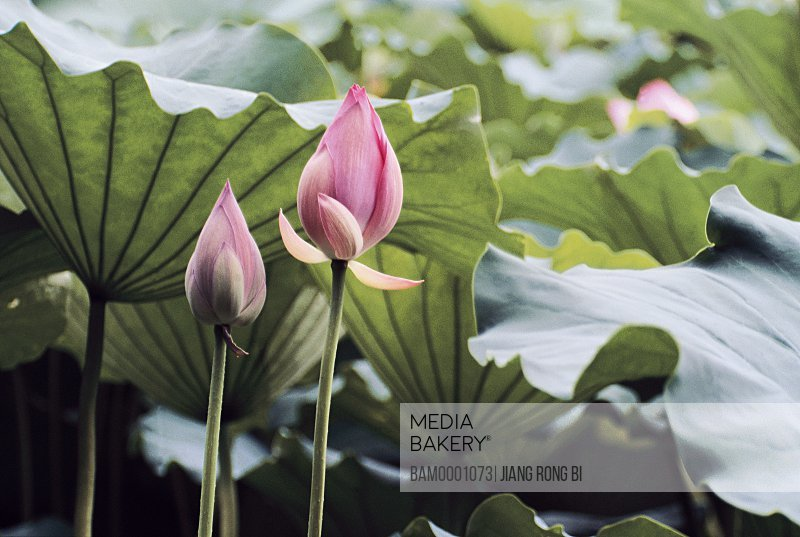 Close-up of a blooming pink lotuses, Tea Stall Park, Fuzhou City, Fujian Province of People's Republic of China