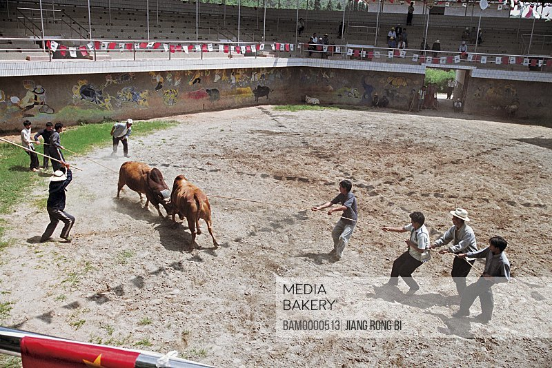 Bullfight Show in Stone Forest Scenic Spot, Shiling County, Kunming City, Yunnan Province, People's Republic of China