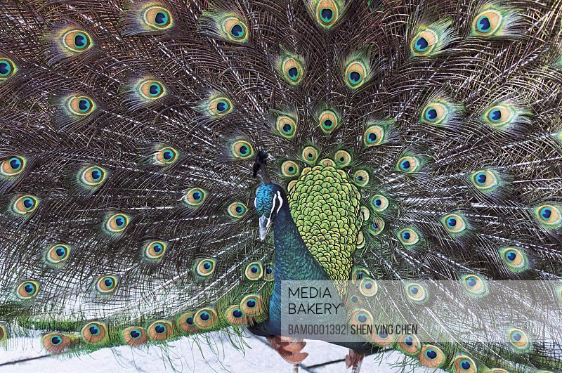 Peacock spreads the tail in the birdsong forest, Fuzhou country forest park, Fuzhou City, Fujian Province of People's Republic of China