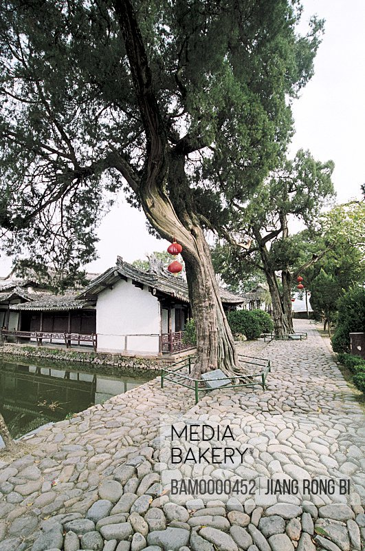 Trees by houses, Old Cypress in Cangpo Village, Nanxi River, Yongjia County, Zhejiang Province, People's Republic of China