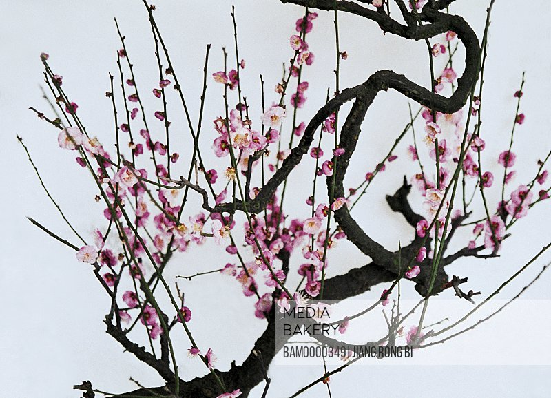 Tree with pink flowers against sky, Peach blossoms of Qi Mountain, Fuzhou City, Fujian Province of People's Republic of China