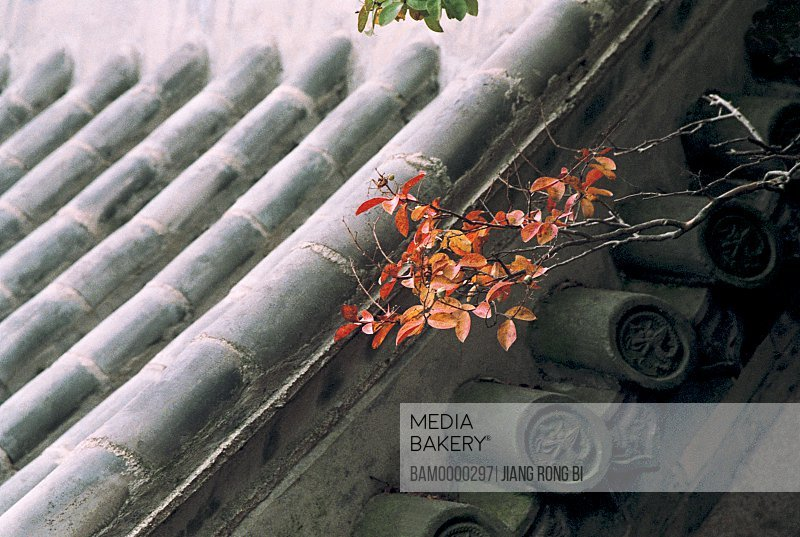 Red leaves on bamboo rooftop of a ancient house, Qingdao City, Shandong Province of People's republic of China