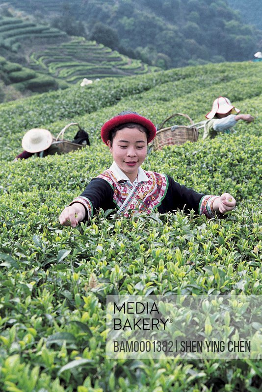 She race girls pick the tea in the Youshan tea garden, Youshan tea garden, Beifeng Town, Fuzhou City, Fujian Province of People's Republic of China
