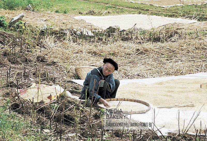 Old Miao minority man are sun-dries the rice, Thousand of Miao minority's house of Xijiang, Kaili City, Guizhou Province of People's Republic of China