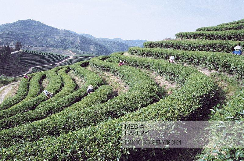 Workers picking tea in the Youshan tea garden, Shoushan Township, Fuzhou City, Fujian Province of People's Republic of China