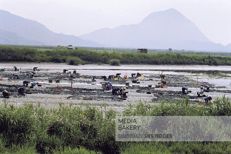 People digging for razor clam at seashore of Shajiang, Shajiang, Xiaopu County, Fujian Province of the People's Republic of China