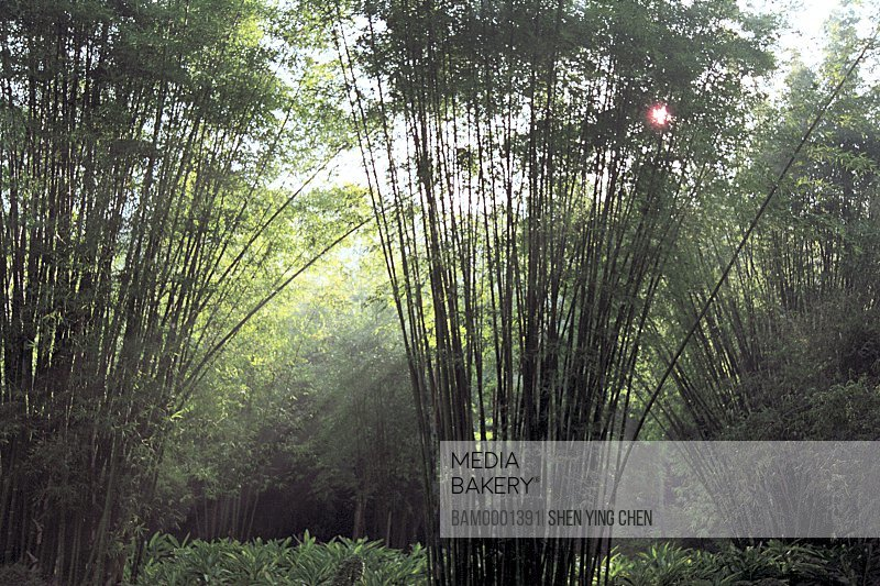 Bamboo grove in forest park, Fuzhou country forest park, Fuzhou City, Fujian Province of People's Republic of China
