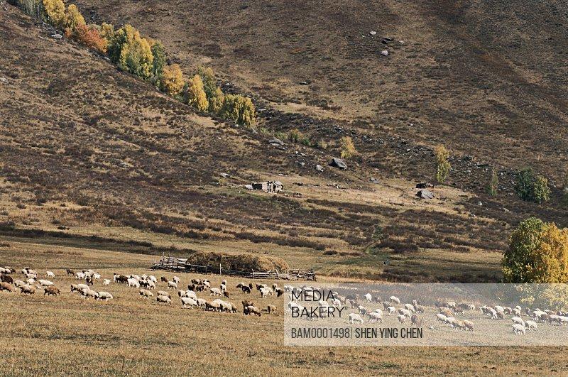 Cattle grazing on a field by mountain, On the way sight of Jiadengyu training ground of Jiadengyu, Buerjin County, Xinjiang Uygur Autonomous Region in People's Republic of China