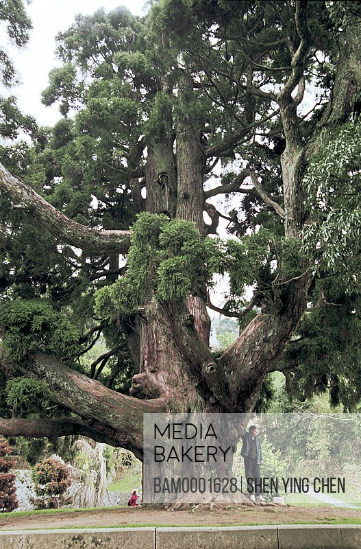 Man standing under tree, Millennium cryptomeria in the king cryptomeria park , Guling, Fuzhou City, Fujian Province of People's Republic of China
