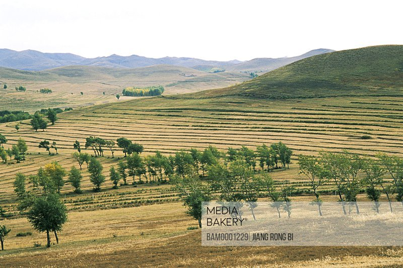 Trees on expanse of land, Farm land interlace the wind-break forest, Guyuan County, Hebei Province of People's Republic of China