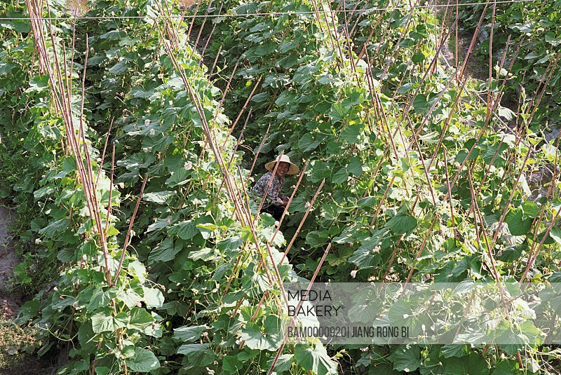 Farmer in the towel gourd field, Fuzhou City, Fujian Province, People's Republic of China