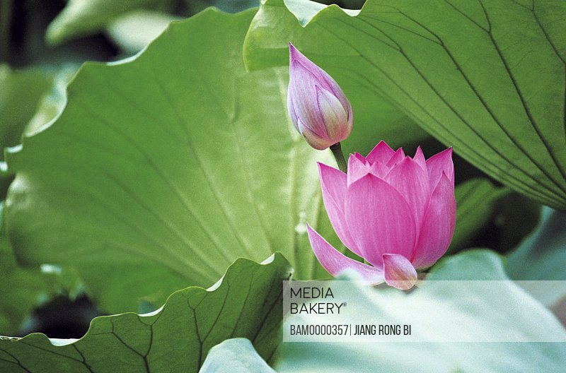 Close-up of a pink lotus and a bud, Tea Stall Park, Fuzhou City, Fujian Province of People's Republic of China
