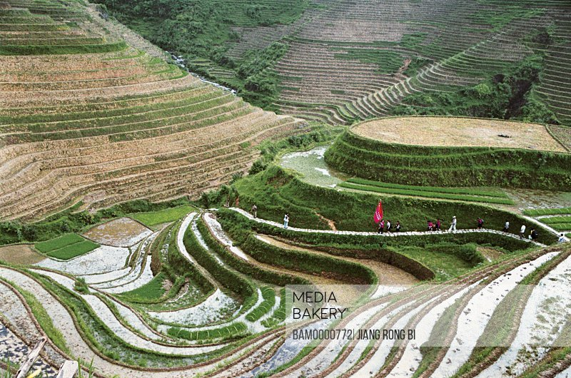 Elevated view of people walking on walkway by terraces, The visitor in the path of Longji mountain terraced fields, Longsheng County, Guilin City, Guangxi Zhuang Nationality Autonomous Region of People's Republic of China
