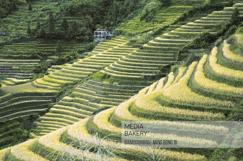 Autumn rice in Longji terraced fields, Longji terraced fields, Longsheng County, Guilin City, Guangxi Zhuang Nationality Autonomous Region of People's Republic of China