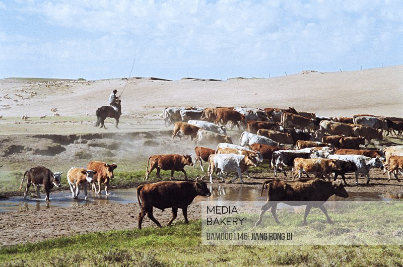 Herdsman with cattle on grassland, The cattle in the grassland of Gonggeer, Keshiketengqi, Chifeng City Inner Mongolia Autonomous Region of People's Republic of China